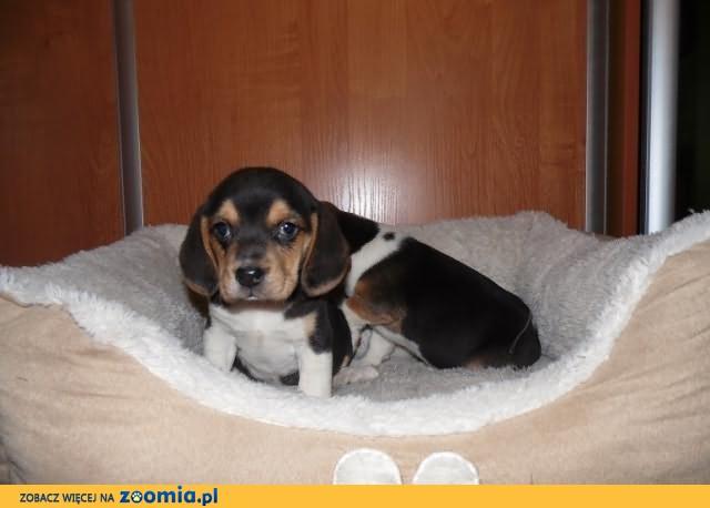 Śliczna sunia rasy beagle