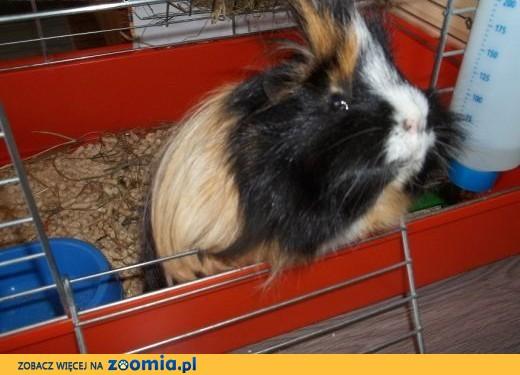 Koruś - świnka morska szuka domu,  kujawsko-pomorskie Toruń