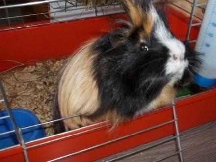 Koruś - świnka morska szuka domu   kujawsko-pomorskie Toruń