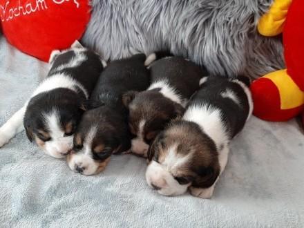 Beagle śliczne szczenięta - pieski tricolor