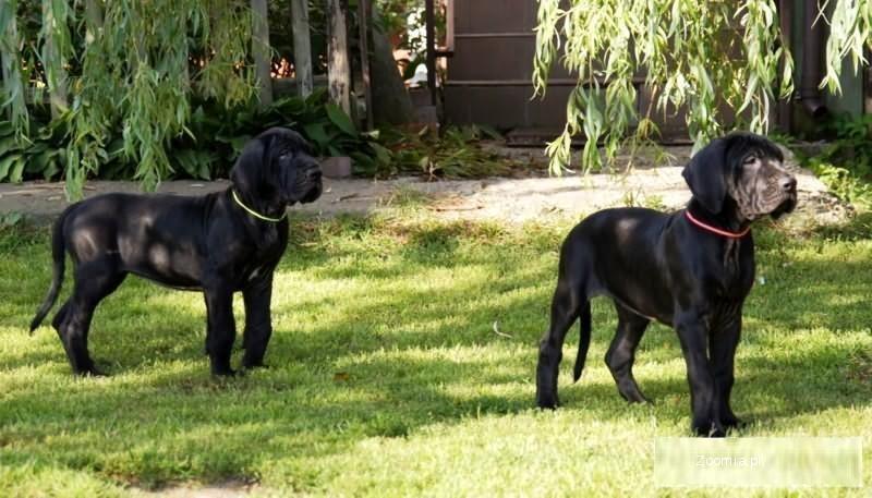 Dog niemiecki, szczenięta po wybitnych rodzicach