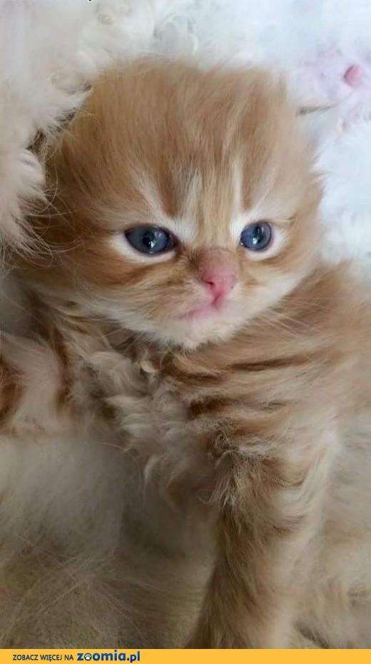 Pers/ kotka / kotka perska  / ruda,  śląskie Radzionków