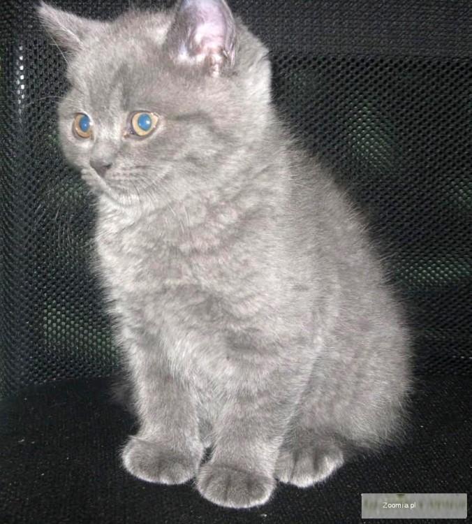 Rodowodowe Kocięta Brytyjskie po CHAMPIONACH
