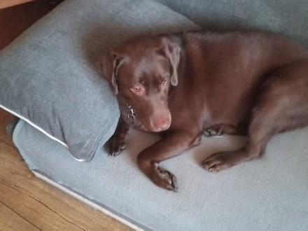 Labrador czekoladka