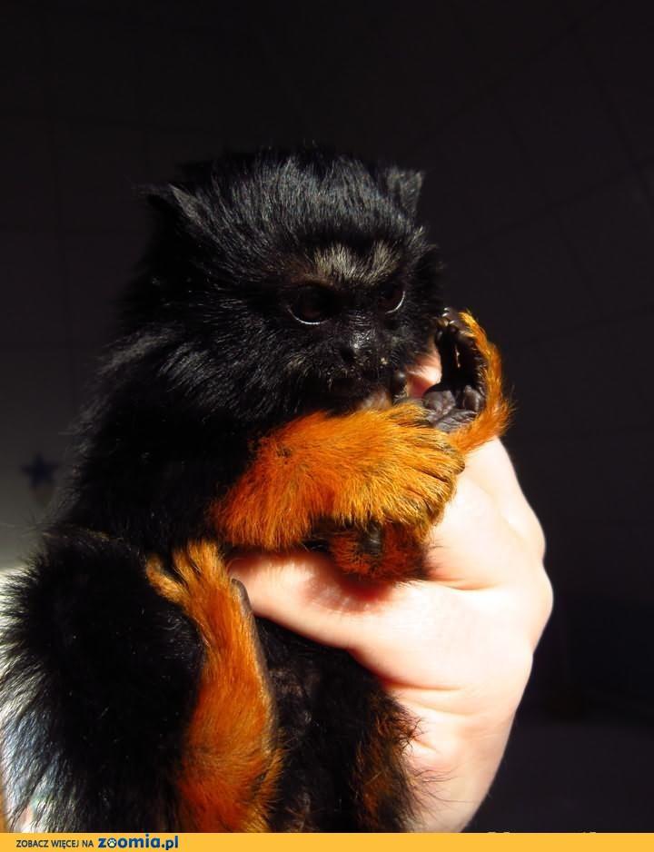 Sprzedam recznie wykarmioną małpkę Tamaryna Złotoręka