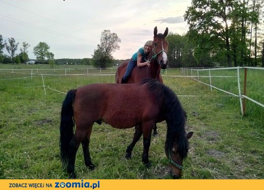 Oddam we współdzierżawę konia wałach 7 lat,  łódzkie Łódź