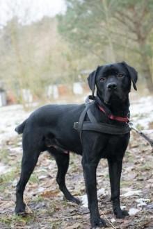 Łid - piękny  młody labrador mix do adopcji