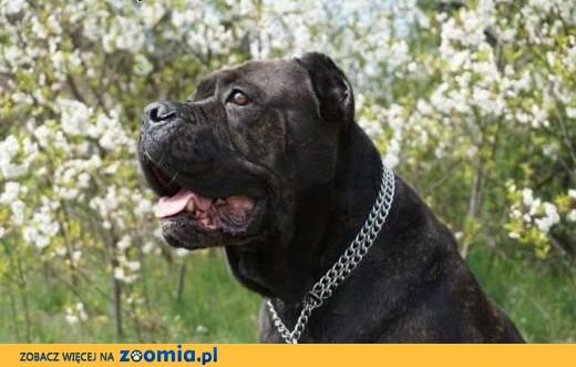 Zupełnie nowe Ogłoszenia: oddam psa, oddam szczeniaka Cane Corso pl 1 ZA44