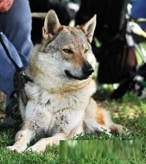 Czechosłowacki wilczak SZCZENIĘTA FCI SUCZKA