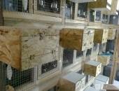 Sprzedam przepiórki japońskie, chińskie, papugi, zeberki i inne ptaki