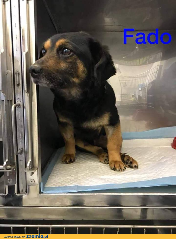 Nieduży Fado, wyjątkowy psiak, wesoły, zakochany w człowieku!