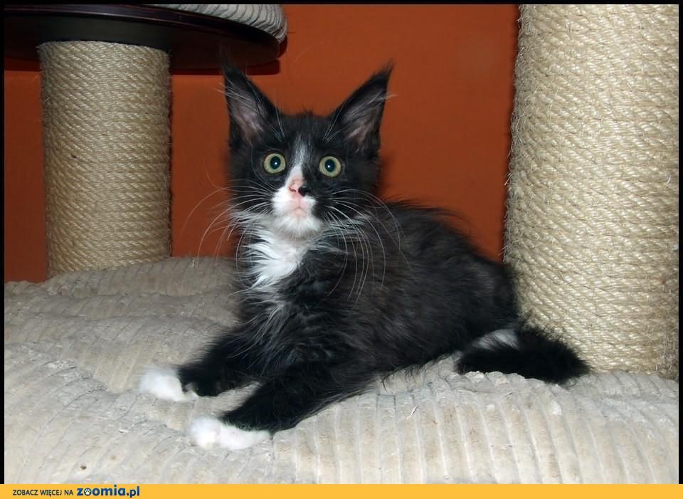 Kocięta Maine Coon Wawelski Kot
