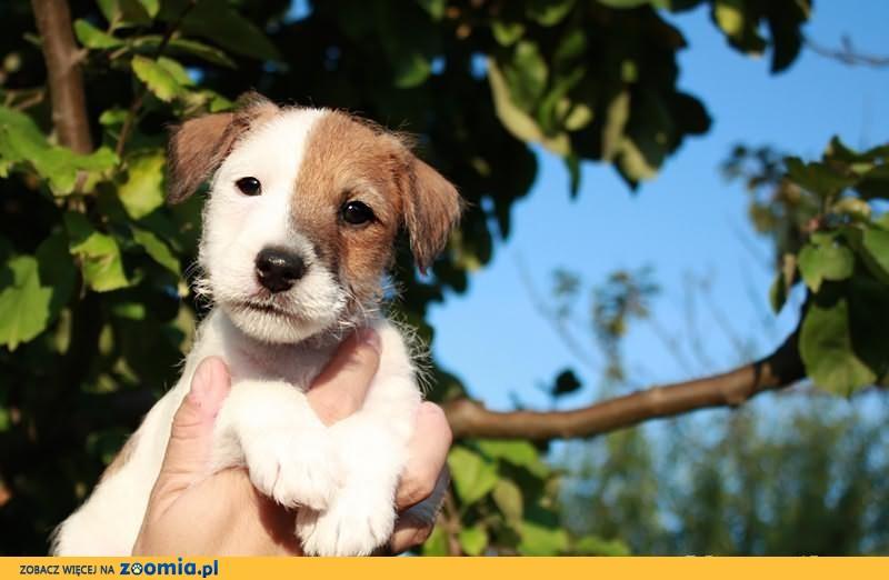 Parson Russell Terrier - hodowla Dwie Twarze, szczenięta !