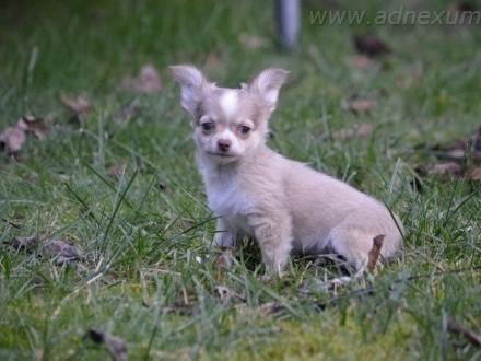Chihuahua szczenięta (FCI)