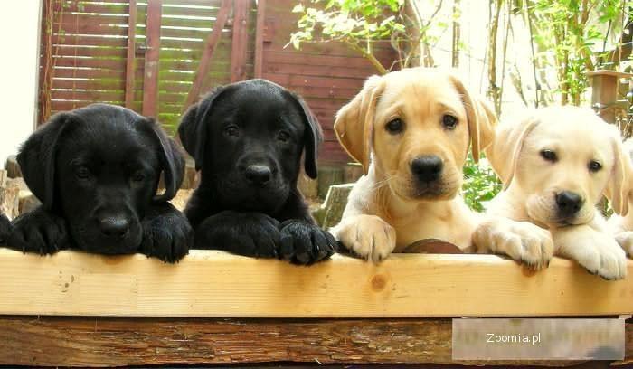 piękne labradorki na sprzedaż