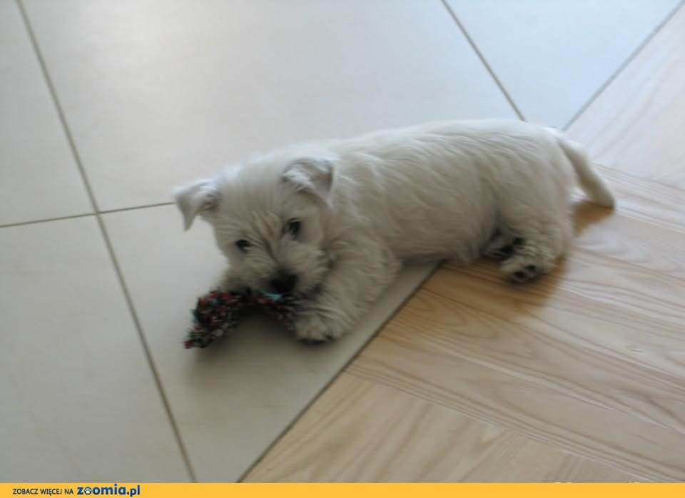 Suczka West Highland White Terrier po INTERCHAMPIONIE - ZKwP/ FCI