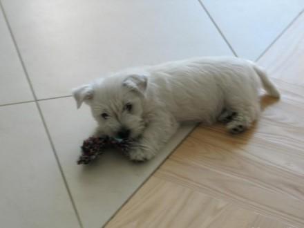 Suczka West Highland White Terrier po INTERCHAMPIONIE - ZKwP/ FCI