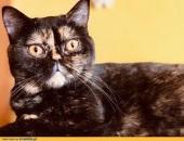 Brytyjska kotka hodowlana z rodowodem FPL/FIFe