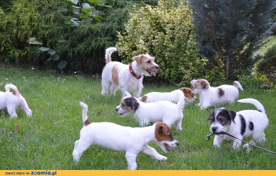 Jack Russell Terrier śliczne rodowodowe FCI