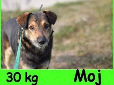 Dosyć duży 30 kg  przyjazny przemiły grzeczny psiak MÓJAdopcja   dolnośląskie Wrocław