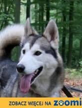 Andriu pies siberian husky / alaskan malamute szuka domu!