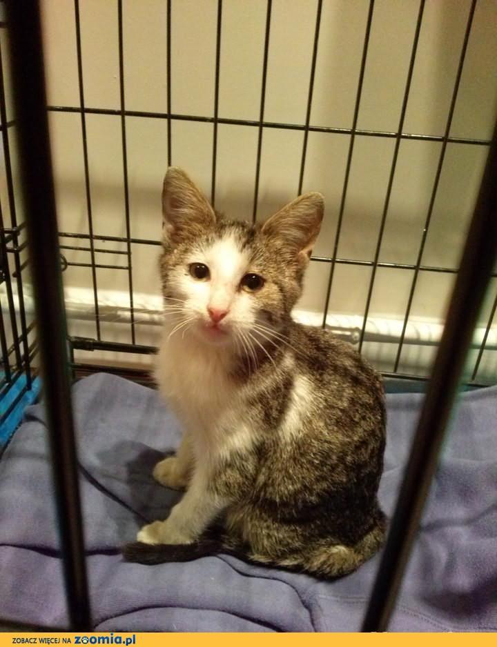 Do adopcji: Poziomka, młoda, oswojona kotka z Gliwic