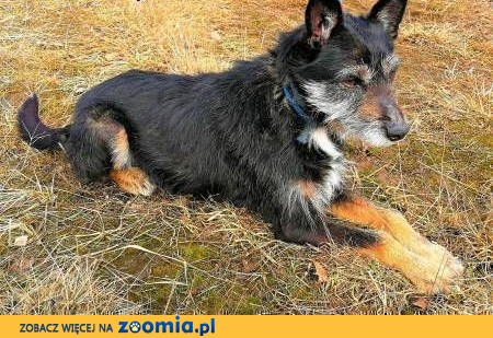 SIWEK - nieduży, kochany psiak w typie sznaucera do adopcji,  mazowieckie Warszawa
