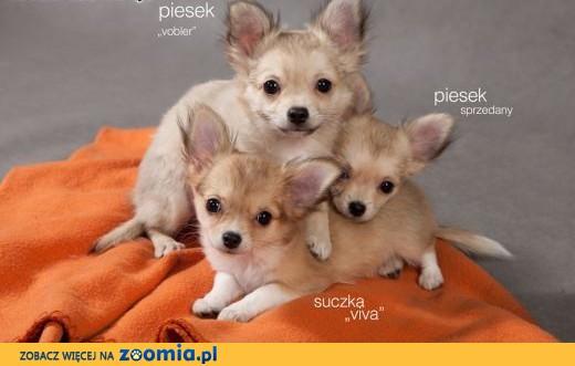 Chihuahua - szczenięta długowłose z rodowodem  ZKwP / FCI,  mazowieckie Warszawa