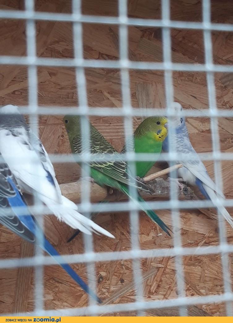 Faliste papużki