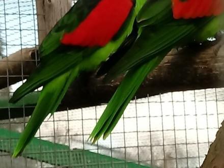 Czerwonoskrzydłe, krasnopiórki