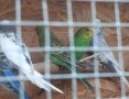 'Faliste papużki