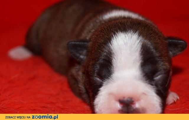 Boston Terrier z rodowodem ZKwP FCI