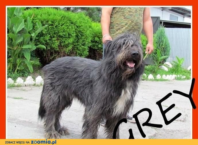 GREY-sznaucer olbrzym mix,cudowny charakter,łagodny,mądry pies.