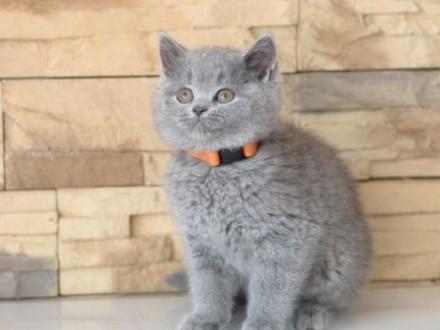 Kot Brytyjski Kocięta Brytyjskie z Rodowodem FPL    dolnośląskie Wrocław