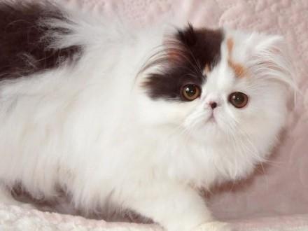 Kot Perski Pers Ogłoszenia Z Hodowli Koty Perskie Zoomiapl Pl 6