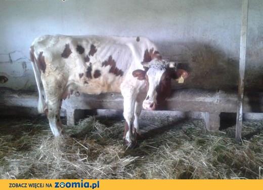 Sprzedam krowę,  małopolskie Tarnów