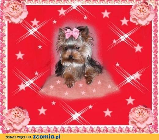 York, yorkshire terrier! ELITARNE MICRO CUDEŃKO-PIESEK -1 kg.,małopolska,  małopolskie Kraków