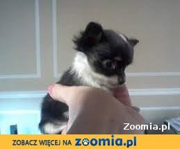 Malutka długowłosa czarno-biała królewna rasy Chihuahua