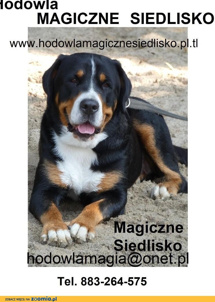 Duży Szwajcarski Pies Pasterski szczeniaki z rodowodem.