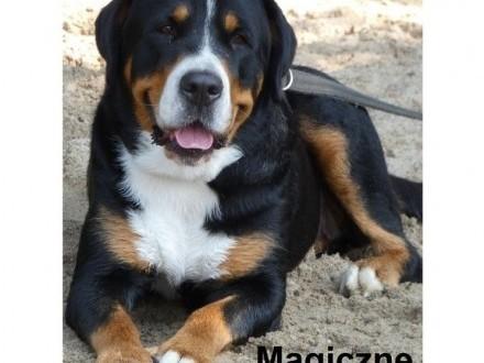 Duży Szwajcarski Pies Pasterski szczeniaki z rodowodem