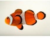 Amphiprion ocellaris, Błazenki, Nemo do akwarium morskiego