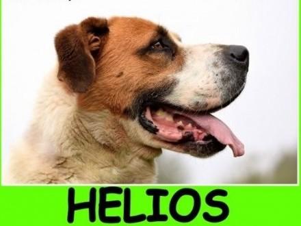 Bernardyn mix  duży 50 kg  3 letni  kontaktowy czujny pies HELIOSAdopcja   śląskie Katowice