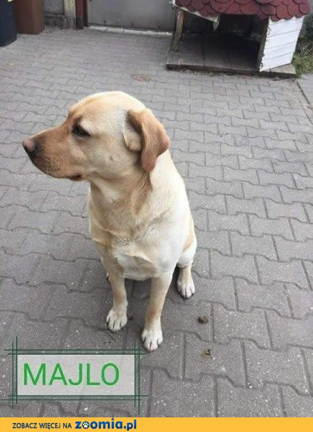 Majlo - biszkoptowy labrador do adopcji