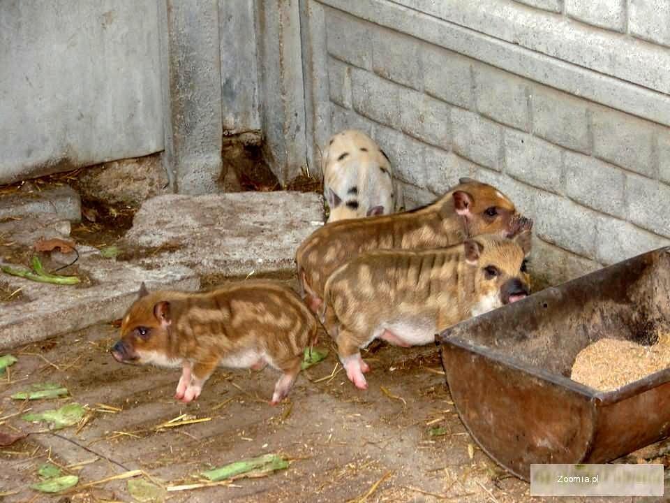 świnie wietnamskie