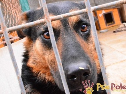 Murzynio - skrzywdzony psiak szuka doświadczonego opiekuna  adopcja