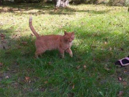 Oddam rudego kota + akcesoria dla kota   lubelskie Chełm