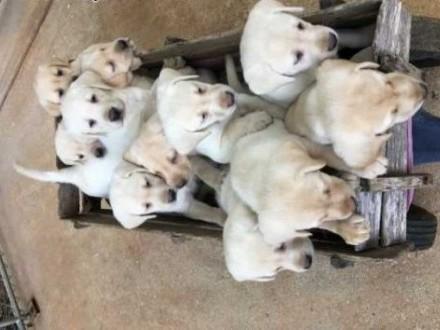 AKC Chion Bloodline Labrador Retriever - Na sprzedaż   zachodniopomorskie Białogard