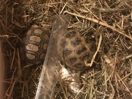 Żółwie stepowe i larcie