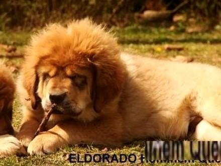 Mastif Tybetański - szczeniaki
