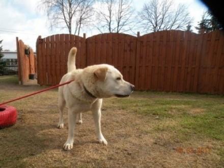 Lilka - biszkoptowa sunia w typie labradora do adopcji